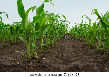 plantation young green corn leaves, closeup - stock photo