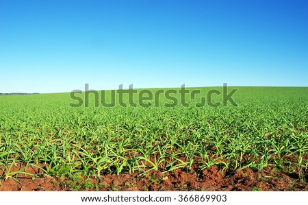 planted garlic in largue field - stock photo