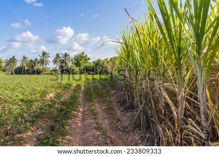 Planter Crop rotation sugarcane and cassava. For send Factory transform food and Ethanol. Made income all year round. - stock photo