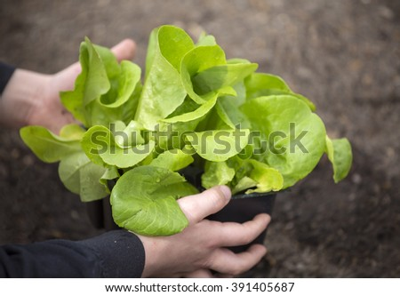 Planting a young lettuce seedling in a vegetable garden. Beautiful head of butter lettuce - stock photo