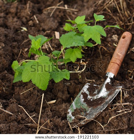 Planting black currant in the garden - stock photo