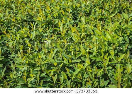 Planting eucalyptus trees. The early strength before planting. - stock photo