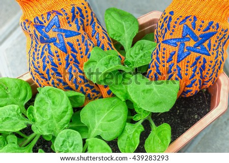 planting flowers in the garden in the garden for a summer job, taking care of flowers and plants, hands in garden gloves gardener - stock photo