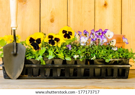 Planting garden with violas, pansies, cultivator, and pots on wood background. - stock photo