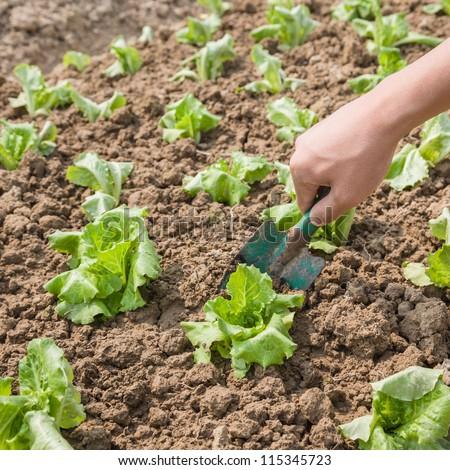 planting lettuce in the farm land - stock photo