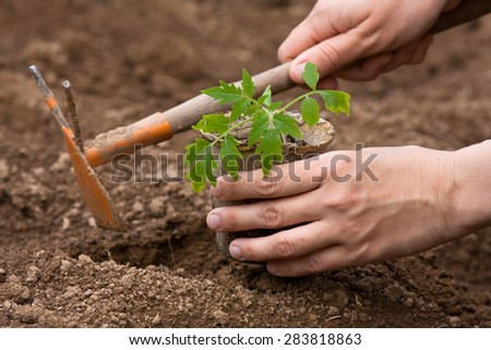 planting of seedling of tomatoes - stock photo