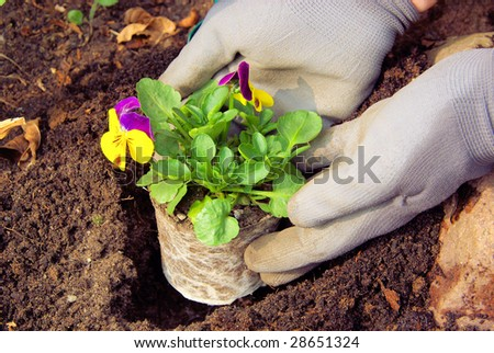 planting pansy - stock photo