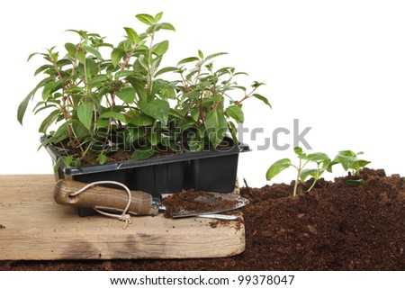 Planting Summer bedding fuscia plants, plants in soil and a plastic tray, with a garden trowel - stock photo