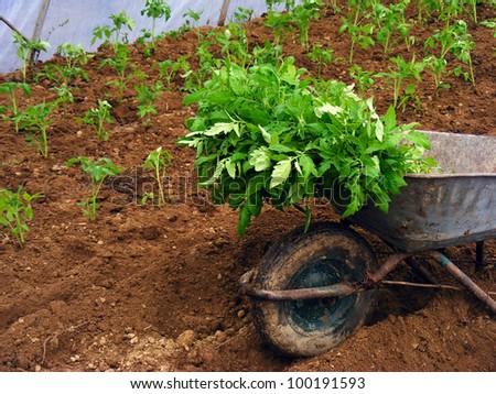 Planting tomato seedling in ground - stock photo