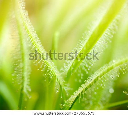 Plants and trees: green leaves of sundews, sunlight from above, abstract natural background - stock photo