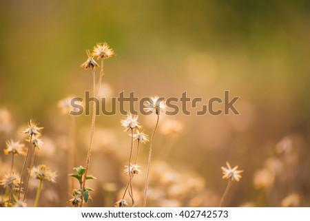 plants dandelions flower sunset light. - stock photo
