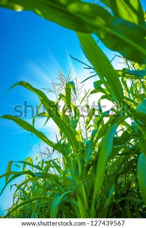 plants of corn close up - stock photo