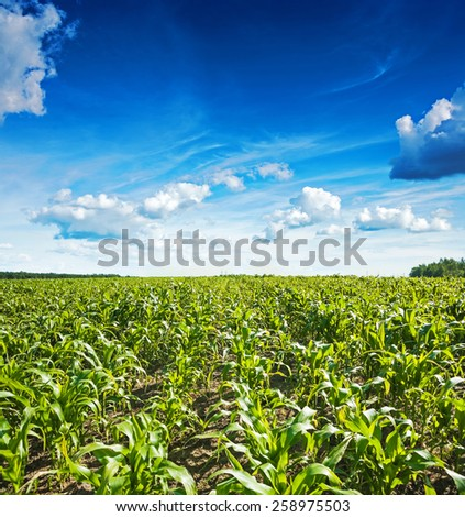 plants of wheat on field and beautiful blue cloudy sky  - stock photo