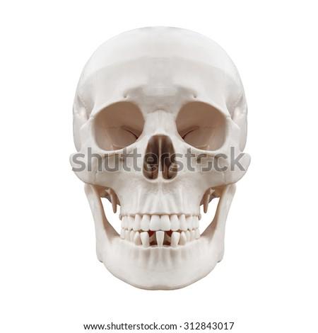 Plastic human skull on isolated white background. - stock photo