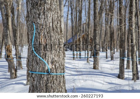 Plastic tubing attached to maple tree to collect sap  - stock photo