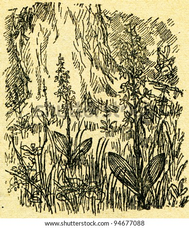 """Platanthera bifolia, commonly known as the Lesser Butterfly-orchid - an illustration from the book """"In the wake of Robinson Crusoe"""", Moscow, USSR, 1946. Artist Petr Pastukhov - stock photo"""