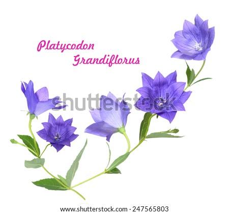Platycodon grandiflorus flower isolated on white background  - stock photo