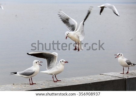Play and rest on the fence Red-billed gull - stock photo