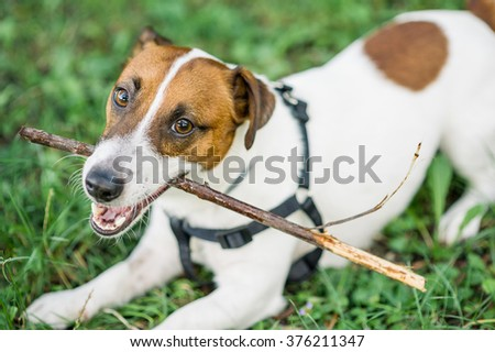 Playful and adorable jack russell terrier dog playing with wood stick in the green grass - stock photo