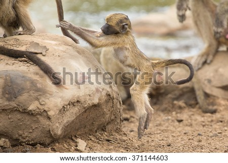 Playful and young baboon looking for trouble in nature rock - stock photo