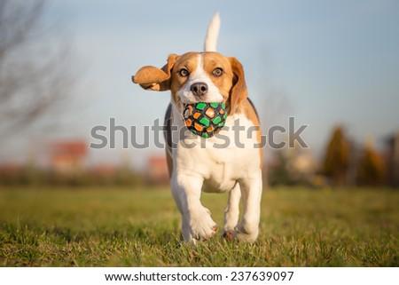 Playful Beagle Dog - stock photo