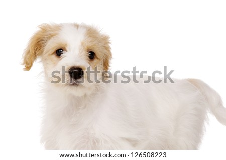 Playful Bichon Frise cross puppy stood alert isolated on a white background - stock photo