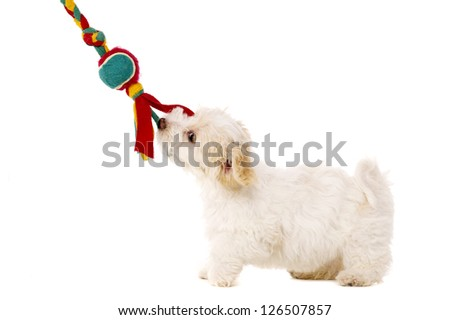 Playful Bichon Frise cross puppy tugging on her toy isolated on a white background - stock photo