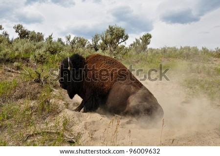 Playful bison at Yellowstone National Park - stock photo