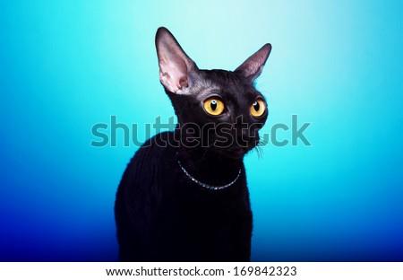 Playful black cat on a blue background - stock photo