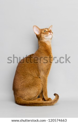 Playful cat Abyssinian. - stock photo