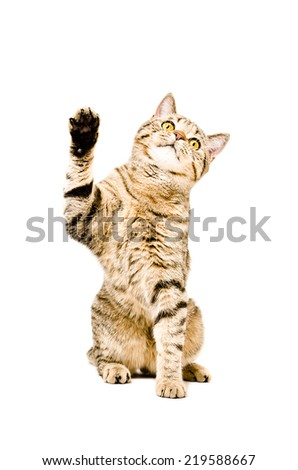 Playful cat Scottish Straight sitting with paw raised up - stock photo