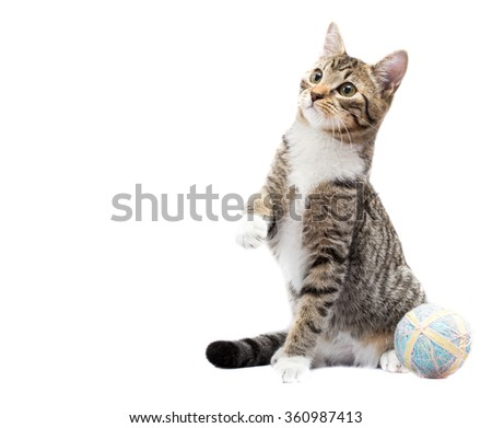Playful Cat Sitting With Paw Up and String Ball on White Background. - stock photo