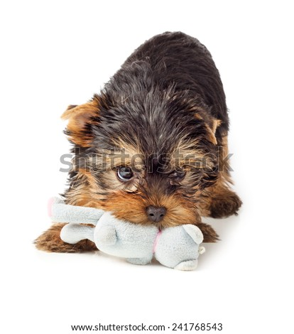 Playful dog with chew toy. Yorkshire Terrier puppy playing with toy.  - stock photo