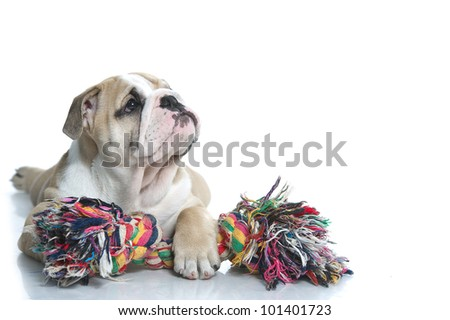 Playful english bulldog puppy with a toy rope isolated - stock photo