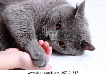 Playful fluffy charming short hair gray British cat - stock photo