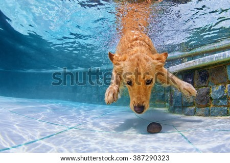 Playful golden retriever puppy in swimming pool has fun - jumping and diving deep down underwater to retrieve stone. Training and active games with family pets and popular dog breeds on summer holiday - stock photo
