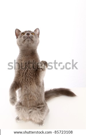 Playful grey cat reaching up with paw - stock photo