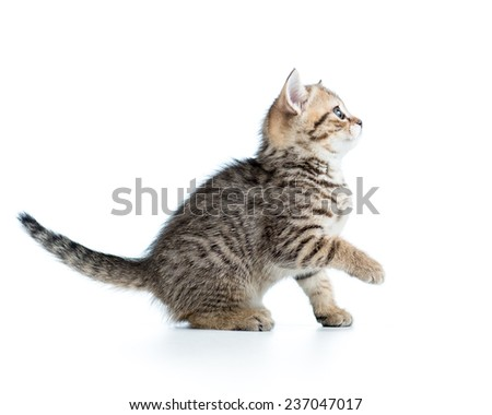 playful kitten cat isolated on white background - stock photo