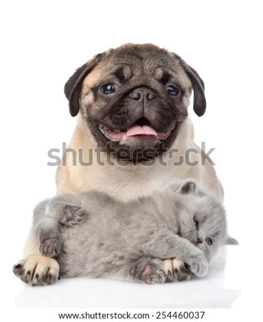 playful kitten lying with pug puppy. isolated on white background - stock photo