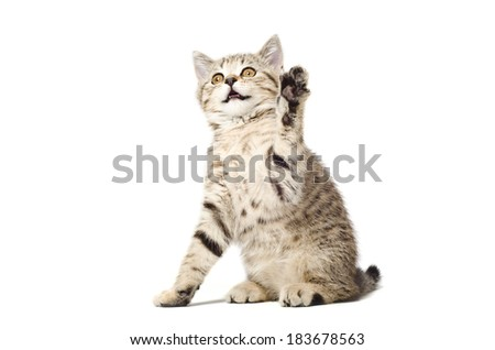Playful kitten Scottish Straight with paw raised up - stock photo