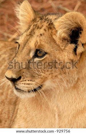 Playful lion cub, South Africa - stock photo