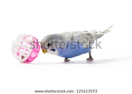 Playful parakeet with toy on white background - stock photo
