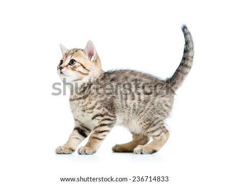 playful pedigree kitten cat isolated on white - stock photo