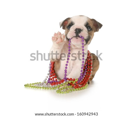 playful puppy chewing on beads - english bulldog 7 weeks old isolated on white background - stock photo