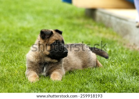 Playful puppy dog on the green grass field. - stock photo