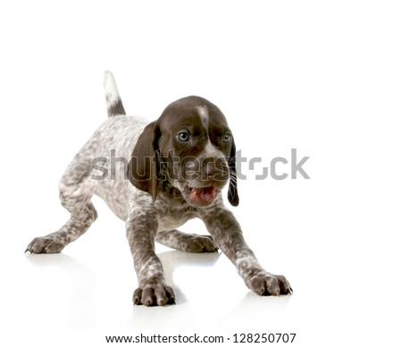 playful puppy - german short haired pointer puppy isolated on white background - 5 weeks old - stock photo