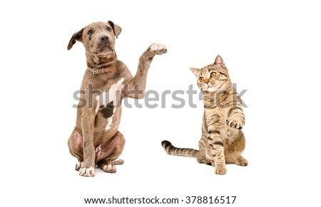 Playful puppy Pit bull and cat Scottish Straight isolated on white background - stock photo