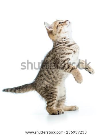 playful scottish kitten looking up isolated on white background  - stock photo