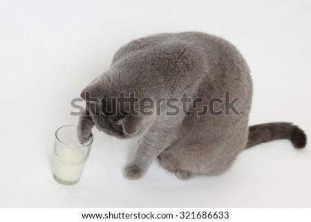 Playful short hair gray British cat drinking milk - stock photo