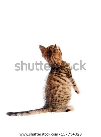 Playful striped kitten standing on his hind legs - stock photo